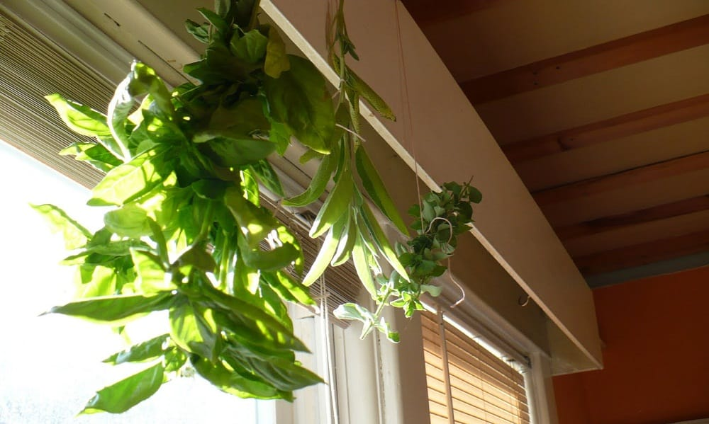 How to dry out basil