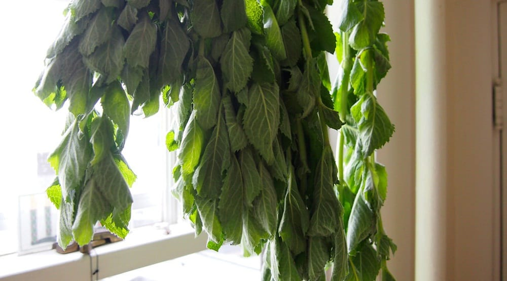Dehydrating mint leaves for tea
